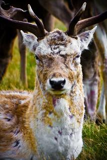 What Deer?
