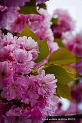 La bellezza della primavera (Rosa Elena Orsina) Tags: pink flowers flower tree love primavera cherry japanese petals spring heart fiori petali amore giapponese ciliegio ricchezza fioritura