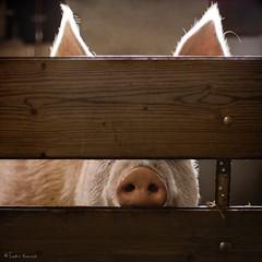 oink (moggierocket) Tags: pink animal backlight fence nose pig farm ears censored daisy mugshot wanted snout varken 500x500 thelittledoglaughed impressedbeauty winner500 ihadalotoffunphotographingthisbabe imayboreyouwithmoreshotsofherlateron disguisedbutstillrecognizable