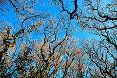 Reaching for the Sky in Gillham Wood! (antonychammond) Tags: wood uk blue trees england sky britain branches eastsussex naturesfinest bej sussexwildlifetrust saveearth firsttheearth winnr photoexplore gillhamwood paololivornosfriends lesamisdupetitprince skyleciel
