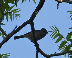 Oak Titmouse (Pomar (historical), California, United States) Photo