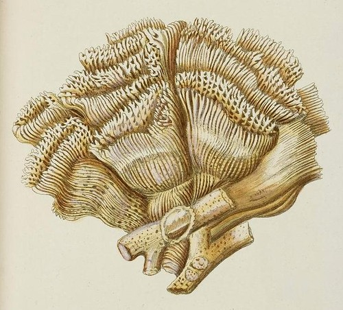 Madrepora cristata (detail)