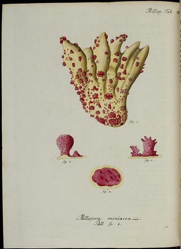 Millepora miniacea