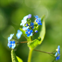 green and blue..... (atsjebosma) Tags: flowers holland macro garden spring bokeh nederland thenetherlands explore forgetmenot groningen lente greenandblue voorjaar vergeetmeniet april2009 groenenblauw atsjebosma thuersday hggt