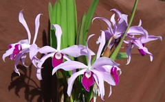 Laelia Lucy Ingram (salabat) Tags: flowers orchid flower colors spring orchids fragrant bloom cattleya blooms dendrobium laelia