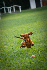 Airtime Anytime (www.julkastro.co) Tags: jamundi cali colombia finca farm green verde grass out smile tekel play action juego salchicha salto fidel perro dog dachshund hound seek catch fly air can doxie fun jump aire vuelo accion active explore interesting caledar views hit interestingness julkastro juliancastro foto photo photographer art create light texture wwwjulkastroco julkastrohotmailcom professional pro journalism