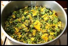 200 Blüten Löwenzahn (♥ ♥ ♥ flickrsprotte♥ ♥ ♥) Tags: canon april austerlitz blüten löwenzahn ilovenatur beifreunden gepflücktaufderwieseinausterlitz