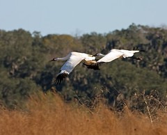 Whooping-Cranes-Flying (Robert Strickland) Tags: birds migratory birds move birdstnc09 photocontesttnc09