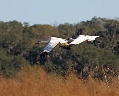 Whooping-Cranes-Flying (Robert Strickland) Tags: birds migratory birds move birdstnc09 photocontesttnc09