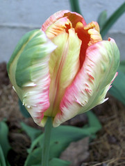 Tulip_50309