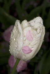 single late tulip (NYBG) Tags: new york nyc travel flower nature beauty garden botanical spring natural blossom bronx m single tulip bloom april maureen destination late 2009 nybg tulipa ivo vermeulen