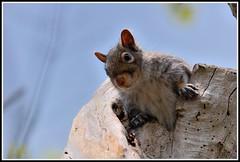 Gray Squirrel (OlaNowak) Tags: ontario canada nature fauna burlington nikon squirrel hamilton sigma graysquirrel wiewirka hfg sciuruscarolinensis wiewiorka easterngraysquirrel sigmalens d40 grindstonecreek nikond40 naturewatcher grindstonecreekmarsh grindstonecreekestuary