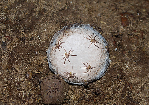 Back > Gallery For > Camel Spider Eggs