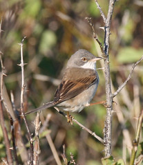 Whitethroat at Kingsbarns (Jacqui Herrington:) Tags: bird nature scotland fife wildlife kingsbarns sylviacommunis summervisitor