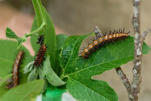 Gulf Fritillary Caterpillars
