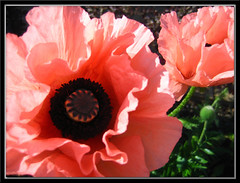 Pink For A Girl.... (justgogs) Tags: pink flowers candy poppy poppies breathtaking fantasticflower mywinners theunforgettablepictures breathtakinggoldaward breathtakinghalloffame