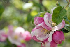 Blossom bokeh (Jean Knowles) Tags: pink white green apple novascotia bokeh explore arr geotag allrightsreserved appleblossoms shelburnecounty malusdomestica atwoodsbrook nottobeusedwithoutmypermission 2009jeanknowles lamiciziafaladifferenza