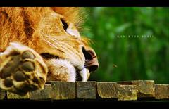 Kamikaze Boys! (khaniv13) Tags: nature animal indonesia zoo nikon sleep bees lion kamikaze manualfocus cisarua bogor tamansafari af70300mmf456g d40x khaniv13