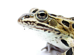 Not a Hypnotoad (Furryscaly) Tags: white macro face animal closeup nose eyes pattern head profile amphibian frog whitebackground spots animalrescue northdakota nd highkey spotted rana animalia whiteground hikey patterned leopardfrog northernleopardfrog ranapipiens tympanum anura amphibia hypnotoad ranidae eardrum truefrog tympanicmembrane animalrehab taxonomy:class=amphibia taxonomy:order=anura taxonomy:family=ranidae taxonomy:genus=rana taxonomy:kingdom=animalia animalrehabilitation lithobatespipiens taxonomy:binomial=ranapipiens taxonomy:common=northernleopardfrog