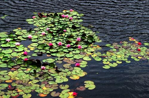 water lilies, naoshima