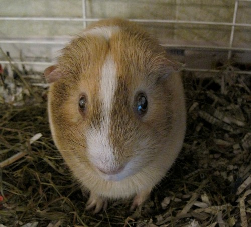 Guinea Pig With Crusty Eyes