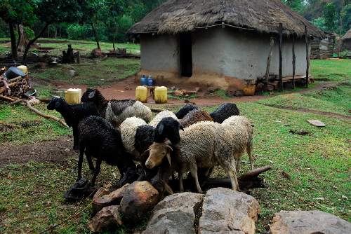Sheep in front of the kitchen