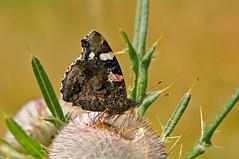 Vanessa atalanta su Cardo alpino (paolo-55) Tags: macro butterfly nikon natura damn pn farfalla friuli d300 piancavallo vanessaatalanta collalto 105mmvrmicronikkor macromarvels cardoalpino