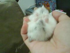 Slping on my sis hand... (MilkyShu) Tags: animal hamster hamsters