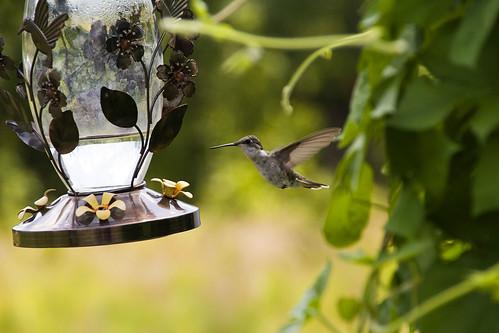 oklahoma2-hummingbird2
