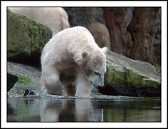Young polar bear (Jan Gee) Tags: nature animal animals zoo wildlife polarbear tiergarten ijsbeer dierentuin ouwehand