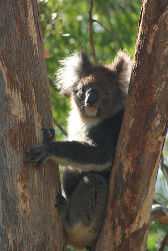 Yanchep National Park - Koala