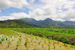 Taro Fields in Hanalei (John Petrick) Tags: hawaii tarot kauai beaches hanalei hanaleivalley d90 hawaiivacation kauaihawaii tarofields kauaivacation tokina1116mm tarotfields hanaleitarofield hanaleitarotfields growingtarot kauaiphototours growingtaro hanaleivalleytarofields