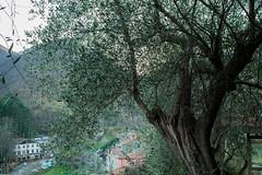 Olivo (Paolo.Sarteschi) Tags: sky italy tree canon olive olivo 1100d mulazzo