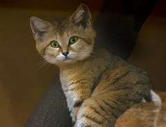 Sand Cat (- Carsten -) Tags: wild cute face cat zoo bigeyes eyes desert ears katze wuppertal wste niedlich sandkatze sandcat zoowuppertal wildkatze grosseaugen platinumheartaward vanagram