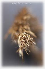 reed (G.Hotz Photography (busy as a bee =)) Tags: portrait people food lake macro photography austria dornbirn feldkirch österreich stillleben foto fotograf fotografie photographer hard bregenz gerald photograph bodensee constance bludenz oesterreich vorarlberg produkt hotz hochzeitsfotograf canon50mm118 ondarena geraldhotz fotolyst