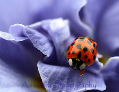 ~Reaching For Success~ (Adettara Photography) Tags: blue red black flower macro purple ladybird ladybug primrose bluemonday excapturemacro adettara ahqmacro magicdonkeybest mdtbmasterpiece worldclassnaturephoto thetitleisnotimplyingexplore thenewbestselect