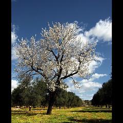 Max's Spring (_Blaster_) Tags: blue sky italy tree verde green nature grass clouds rural italia nuvole fuji country almond campagna f30 cielo finepix albero prato salento puglia blaster ulivi olivetrees sava almondtree mandorlo rurale fujif30