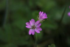 Fleur des prés (philippe.ducloux) Tags: france flower macro nature fleur canon bokeh macrophotography macrophotographie 450d canon450d flickraward strictlygeotagged natureonly