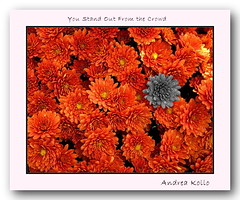 You Stand Out (Andrea Kollo Photography) Tags: flowers toronto ontario flower color nature colors gardens garden countryside mums selectivecolor selectivecolour gardentour gardentours colorfulflowers naturephoto  flowerphotography kingtownship colourfulflower colorizedflower andreakollo springhillphotography colorizedflowers