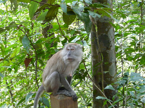 Monkeys at Bukit Timah Nature Reserve