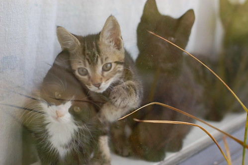 Ashby Kittens in the Window