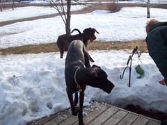 THROW THE BALL! (legallyglinda) Tags: dog snow ball play