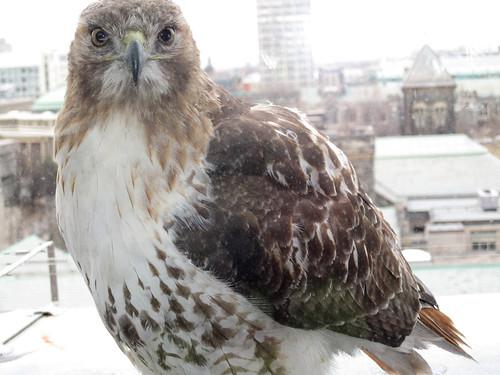 Queen's Park Hawk