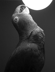 Stupid bird (Stop and stare) Tags: bw max amazon parrot