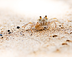 Mister Crabs (Splat Worldwide) Tags: travel vacation beach nature animal canon eos hawaii sand bokeh critter crab 5d 200mmf28l