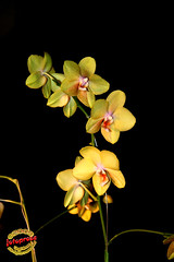 Phalaenopsis Brother Golden Potential C20090328 164 (fotoproze) Tags: canada orchids quebec montreal phalaenopsis 100 orchidee orqudeas 2009 orchideje orchides anggrek orchideen   orkide hoalan storczyki orchideen  orhidee  orkideer orqudies orkideat brnugrs orhideje  orkider orkideak orchidey   orchids  orchidek magairln  tegeirianau