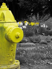 365-229 Yellow Flowers (dragonfire72) Tags: park flowers white black color yellow hydrant canon fire dirty powershot 365 daffodils selectivecolor day229 sx10is
