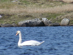 Lonely Swan (DonaldUist) Tags: geese many swans there were about but lots uist dun southuist mhoir gerinish