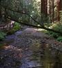20090422 Muir Woods Redwood Creek