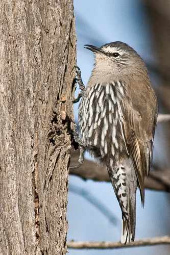 White-browed Treecreeper